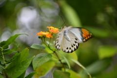南国の蝶XLIV!