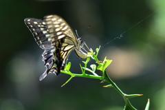 里山の蝶CXVI!