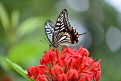 南国の蝶XLVII!