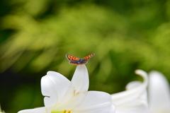 花と蝶CCVIII!