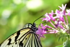 南国の蝶XVI!