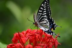 南国の蝶XLVIII!