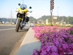 芝桜の季節