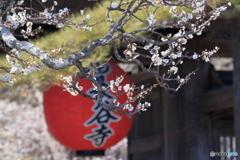 長谷寺の白梅
