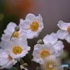 秋の花 秋明菊