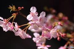 長谷寺の河津桜2