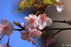 長谷寺の河津桜1