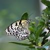楽園の蝶 オオゴマダラ2