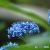 魅惑の紫陽花2