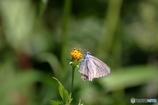 雨上がりの蝶2