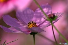 見納めの秋桜②