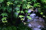 浅草寺内・日本庭園の新緑