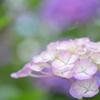 紫陽花<煌めき>