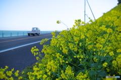 海沿いの菜の花畑