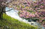 小川に咲く桜