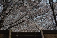 宮川堤 桜