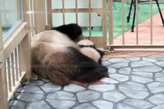 2018年8月14日生まれのジャイアントパンダの赤ちゃん