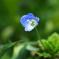 春の野に咲く青い瞳