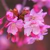 ももいろ桜♡