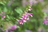 宮島に秋を告げる花
