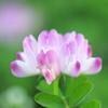 咲いた咲いたレンゲが咲いた