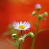 かわいい野の花 ~背景、朱に染まる~