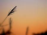 秋と薄と黄昏と…