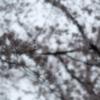桜雨(4)