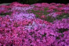 実家の芝桜2018(1)