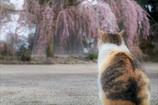 お花見ネコ