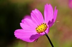 紫陽花と秋桜