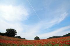 ポピーの丘と飛行機雲