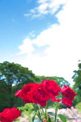 代々木公園のバラ