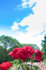 代々木公園のバラ(再編集)