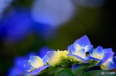 紫陽花8e