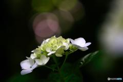 紫陽花8g