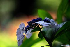 紫陽花8h