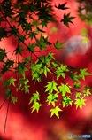 青  in 赤紅葉