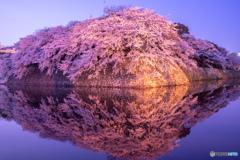 彦根城 桜満開