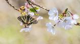 桜とギフチョウ