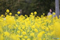 7分咲きの菜の花畑