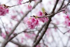 今帰仁の緋寒桜
