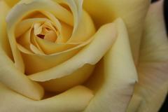 薔薇 彩々 VIII
