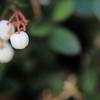 白玉の木の実 栂池自然園