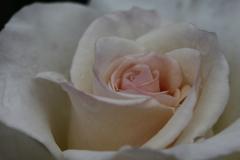 薔薇 彩々 V