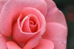 薔薇 彩々 X