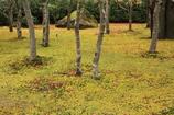 苔むす庭園 時々紅葉