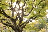 古木の輝き