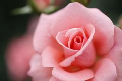 薔薇 彩々 VI