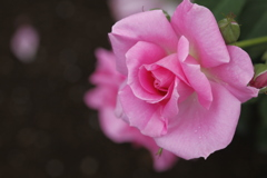薔薇 彩々 IX